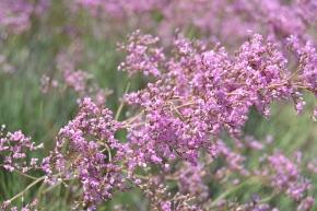 El adelanto del periodo de floración como respuesta a la pérdida de biodiversidadvegetal