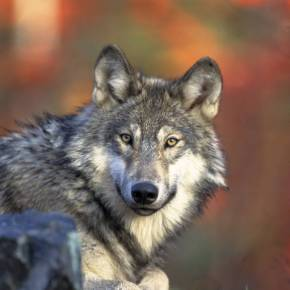 El impacto de los superdepredadores es más débil en los límites de sus áreas dedistribución