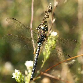 Las hembras de libélula fingen muerte súbita para evitar cópulas nodeseadas