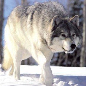El factor miedo: cómo el temor que los depredadores generan en sus presas puede transformar elpaisaje