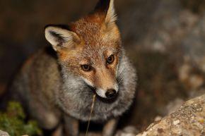 """""""Perro no come perro"""": los carroñeros evitan comer cadáveres de especiescarnívoras"""