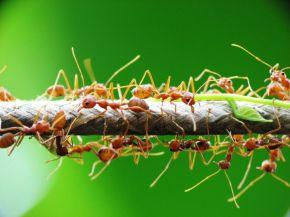 La cooperación es rentable: hormigas que protegen y fertilizanplantas