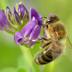 El uso de insecticidas daña a las abejas sin mejorar la producciónagrícola