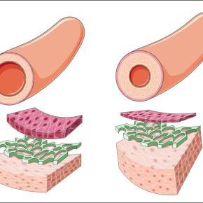 La flora intestinal regula la presiónsanguínea