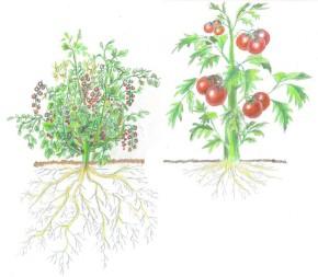 Estudiando la ecología y la domesticación de las plantas para mejorar la sostenibilidadagrícola