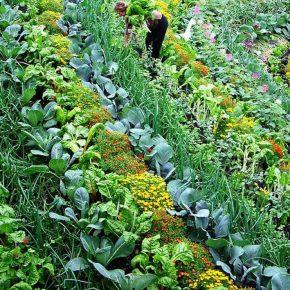 Policultivos: plantas que trabajan en equipo para mejorar lacosecha