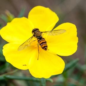 La polinización no es solo cuestión de abejas, necesitamos másespecies