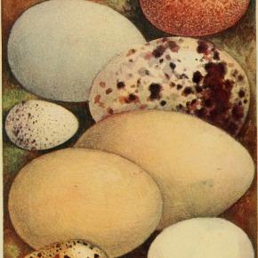 ¿Por qué hay tanta variedad de formas entre los huevos de lasaves?
