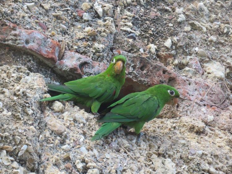 Pareja de perico de La Española nidificando en un edificio del casco histórico de Santo Domingo_Álvaro Luna