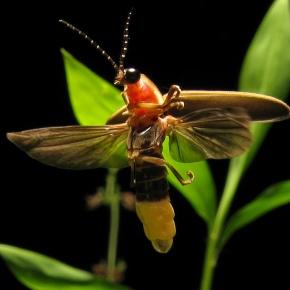Coevolución: los murciélagos y el desarrollo de la bioluminiscencia en lasluciérnagas