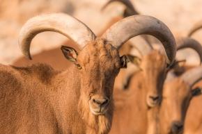 ¿Especies invasoras o especies dañinas? El paradigmático caso del arrui enEspaña