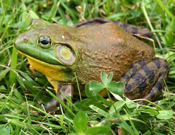 775px-North-American-bullfrog1