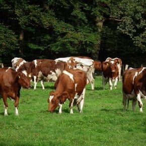 Diversificar el ganado para mejorar la sostenibilidad de lospastos