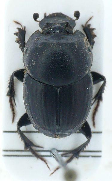 374px-Onthophagus_taurus