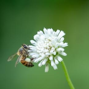 El uso de abejas domésticas para polinizar cultivos, ¿es miel todo lo quereluce?