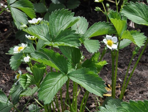 Aardbeienplant_R01