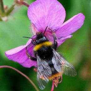 La introducción de abejas domésticas aumenta las infecciones víricas en polinizadoressilvestres