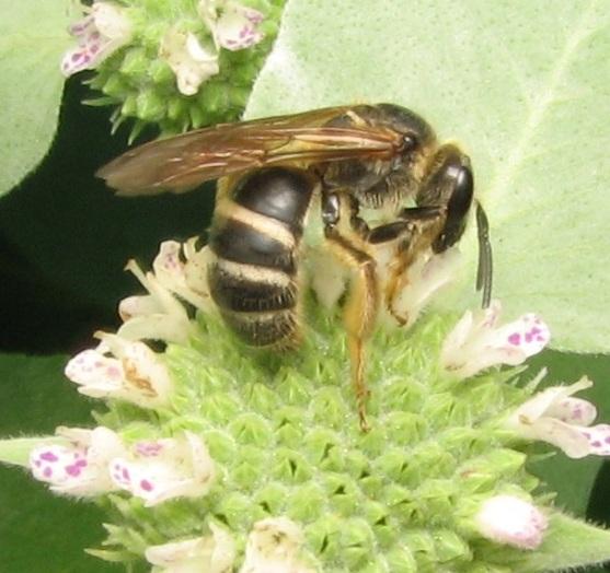 Lasioglossum2843.06.w