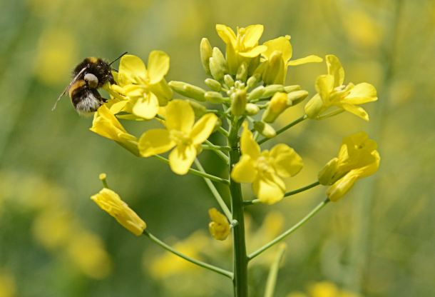 Brassica_napus_Bombus_terrestris,_koolzaad_gewone_aardhommel_(1)
