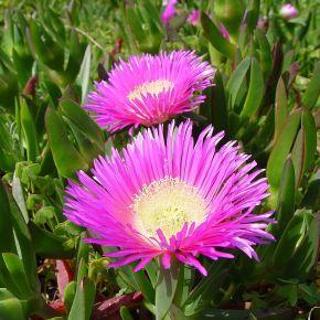 Plantas invasoras y urbanizaciones, una mala combinación para la vegetación costera deDoñana