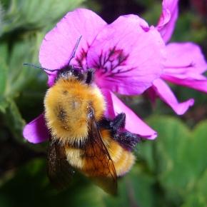 Los abejorros dañan las plantas para acelerar lafloración