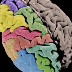 El córtex cerebral humano: ¿cómo influye la genética en nuestra capacidad de aprendizaje yadaptación?