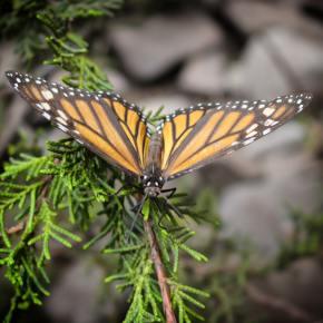 Copiar a la naturaleza no es fácil: las mariposas monarca criadas en cautividad no sobreviven a lamigración