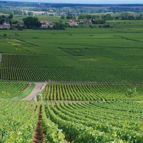 Los viñedos situados en paisajes naturales sufren menos plagas y requieren menospesticidas