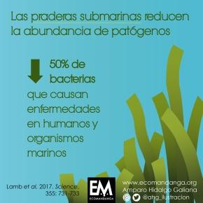 Las praderas submarinas reducen la abundancia depatógenos